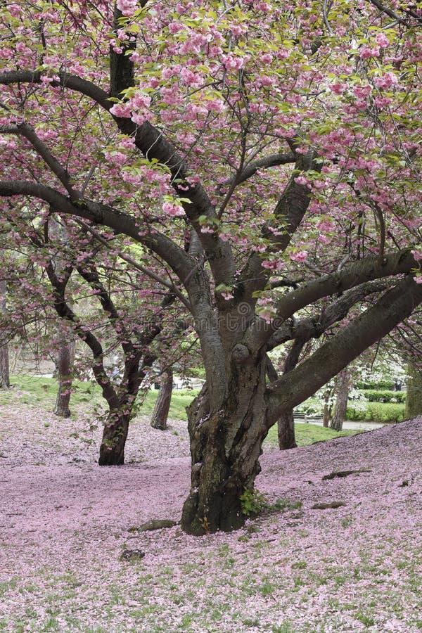 Free Cherry Tree (Prunus Sargentii) Stock Photography - 11484992
