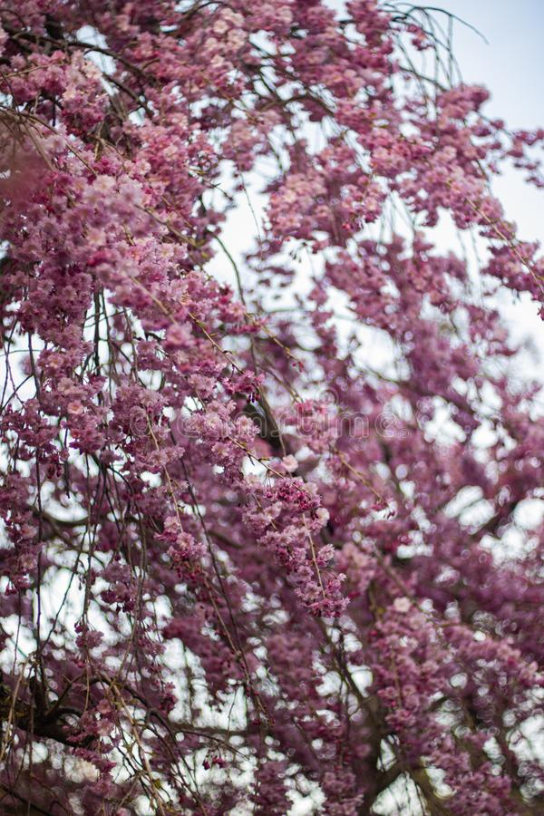 A cherry tree`s branch blossomed gorgeous pink flowers.  stock photo