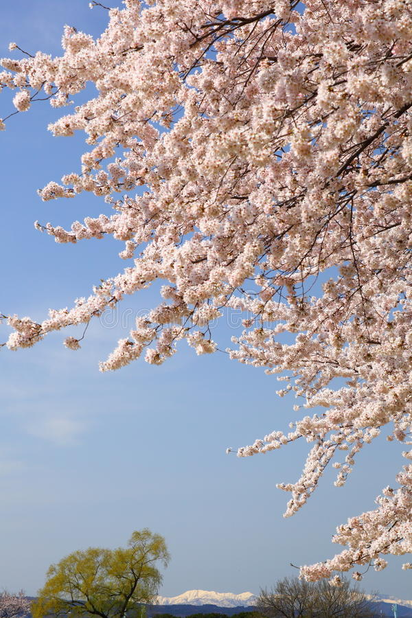 Download Cherry Tree And Snowy Mountain Stock Photo - Image: 25796112