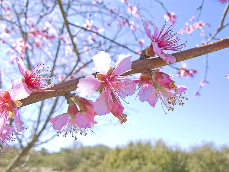 Cherry tree at spring royalty free stock images