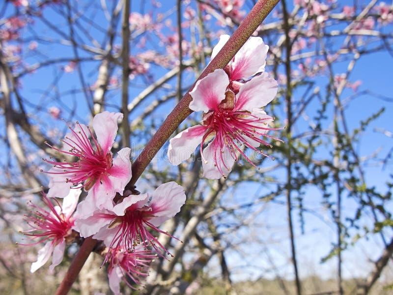 Cherry tree at spring royalty free stock photo