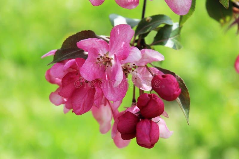 Spring in the garden. Cherry tree in a spring garden royalty free stock photos