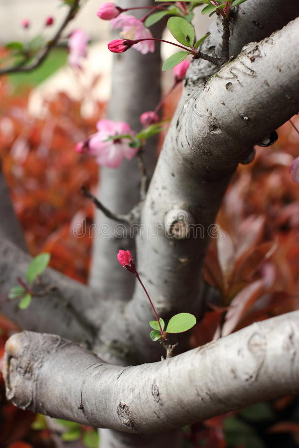 Cherry tree trunk stock photo image of gray bloom flowers 39162912 - Flowers that grow on tree trunks ...
