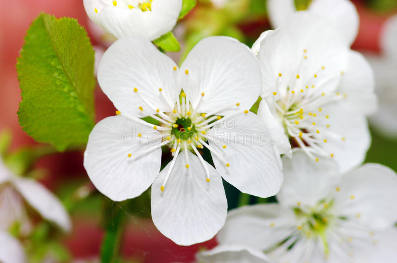 Cherry tree with white flowers royalty free stock photo