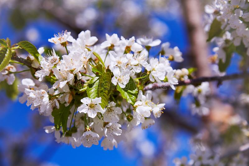 Flowering fruit trees on a spring day stock photo
