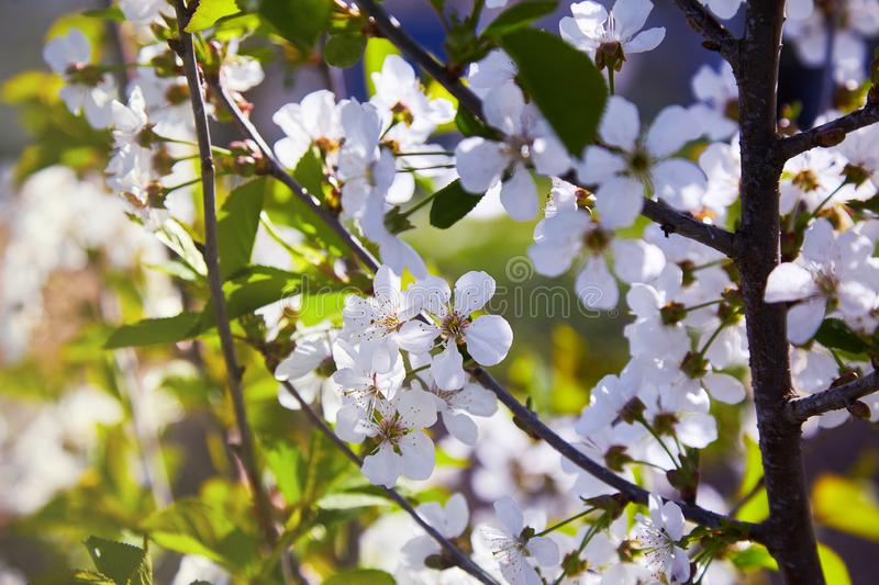 Flowering fruit trees on a spring day royalty free stock photo