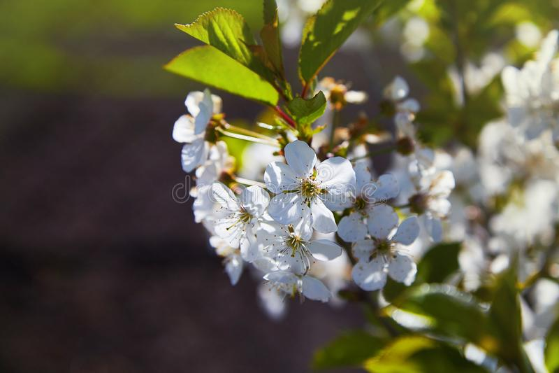 Flowering fruit trees on a spring day stock image