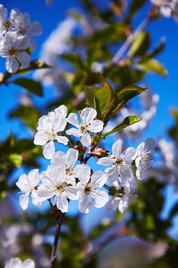 Flowering fruit trees on a spring day stock photography