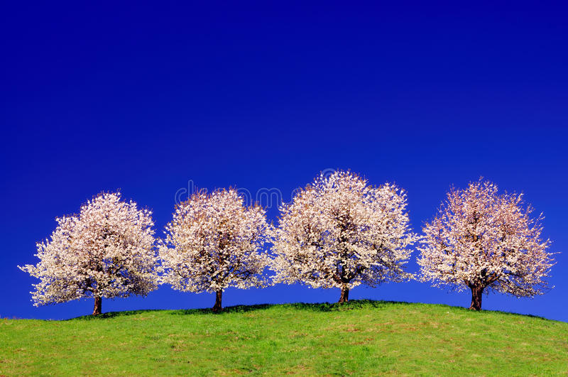 Download Cherry trees stock image. Image of meadow, white, sunshine - 19142089