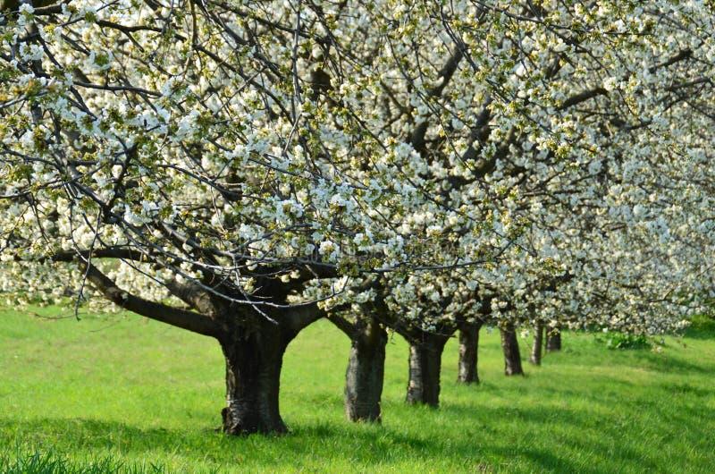 Download Cherry Trees foto de archivo. Imagen de provincia, escena - 64201622
