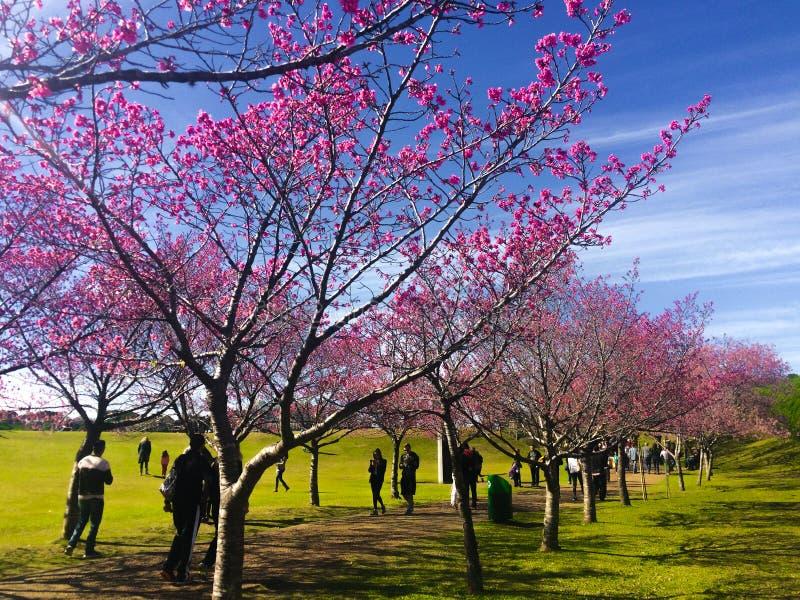 Cherry Trees fotos de stock