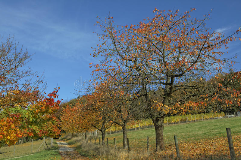 Cherry trees in autumn, Hagen, Germany. Europe stock photography