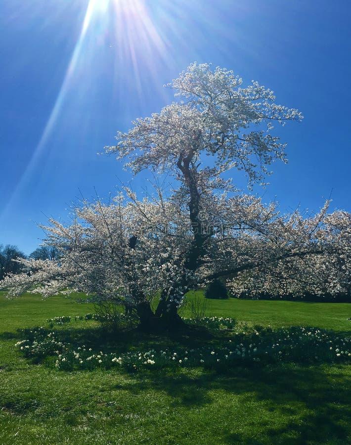 Cherry Trees Basking i solstrålarna fotografering för bildbyråer