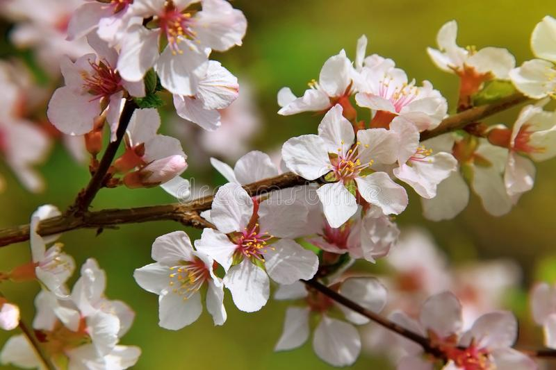 The cherry trees are blooming white flowers white cherry blos stock download the cherry trees are blooming white flowers white cherry blos stock photo image mightylinksfo Gallery