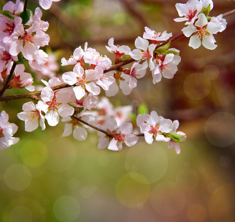 The cherry trees are blooming white flowers. White cherry blossoms. The cherry tree twig with white flowers.Spring flower backgr. Flowering branches in the sun royalty free stock images