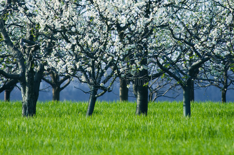 Cherry trees in blossom. White flowers on a blooming cherry trees royalty free stock photo