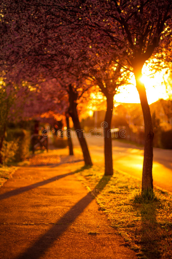 Cherry Trees, coucher du soleil d'or de ressort images stock