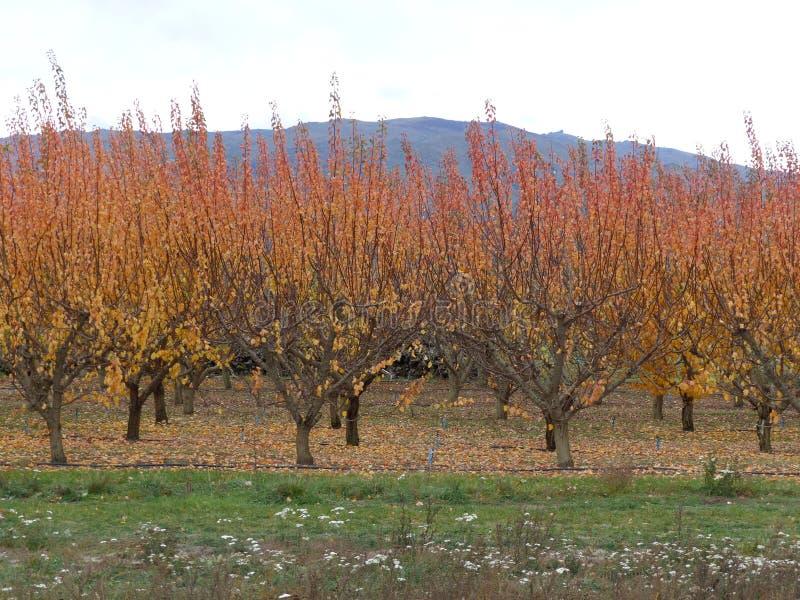 Cherry Trees in den Herbstfarben in Neuseeland lizenzfreies stockfoto