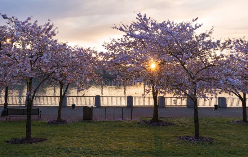 Cherry Trees em Portland fotografia de stock