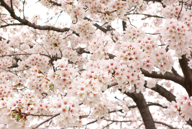 Download Cherry Trees In Full Bloom. Stock Photo - Image: 24454104