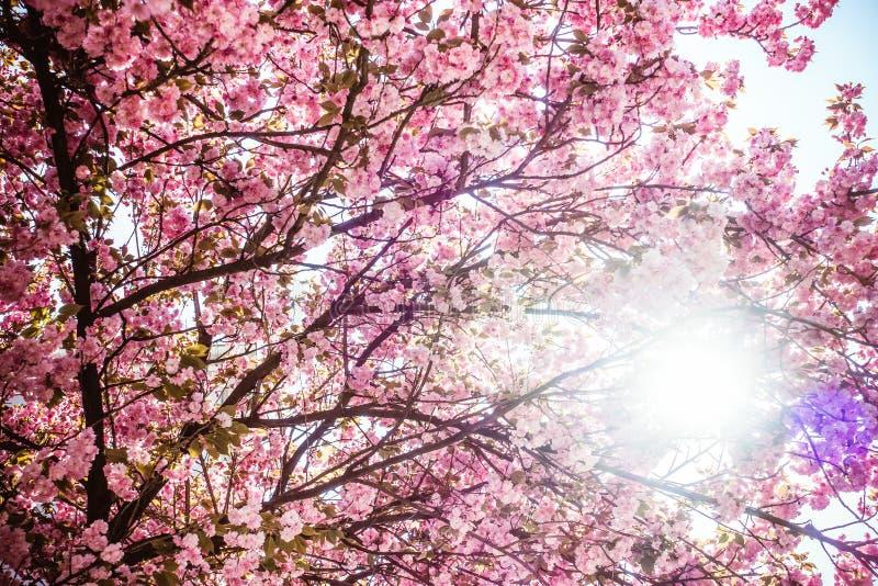 Cherry Trees med Rich Pink Blossoms mot himmel med strålar av solljus arkivbilder