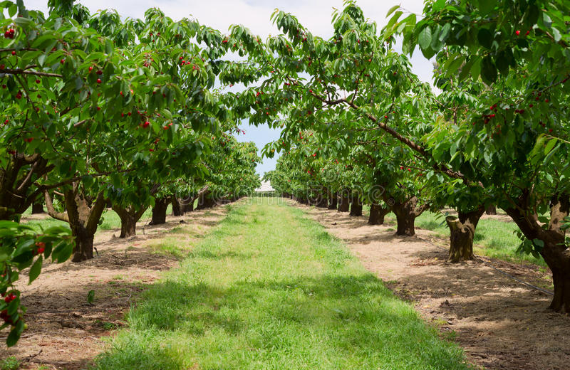 Cherry trees in orchard stock photography