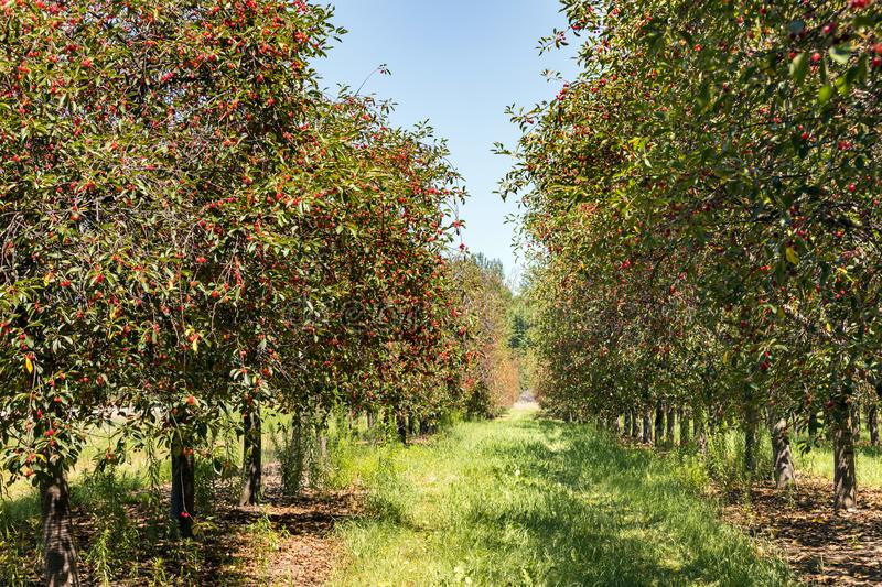 Cherry Trees with Ripe Cherries stock images