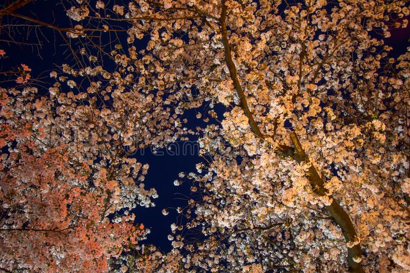 Cherry trees at Ueno ParkUeno Koen in Ueno district of Taito,Tokyo,Japan are light up during Ueno Sakura Matsuri. royalty free stock photos