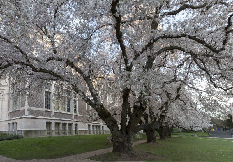 Cherry Trees at University of Washington stock image