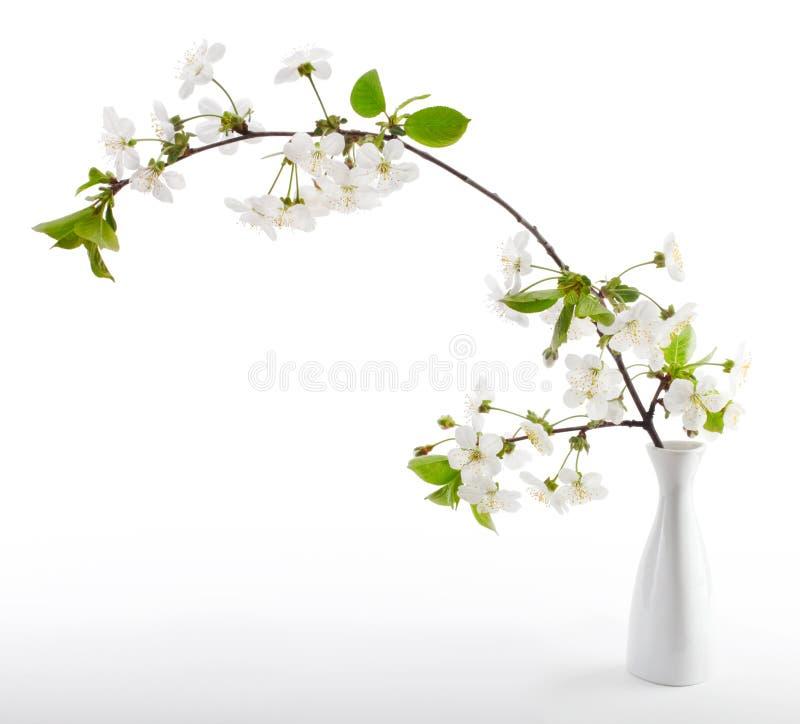 Cherry twig in bloom. In vase stock photo