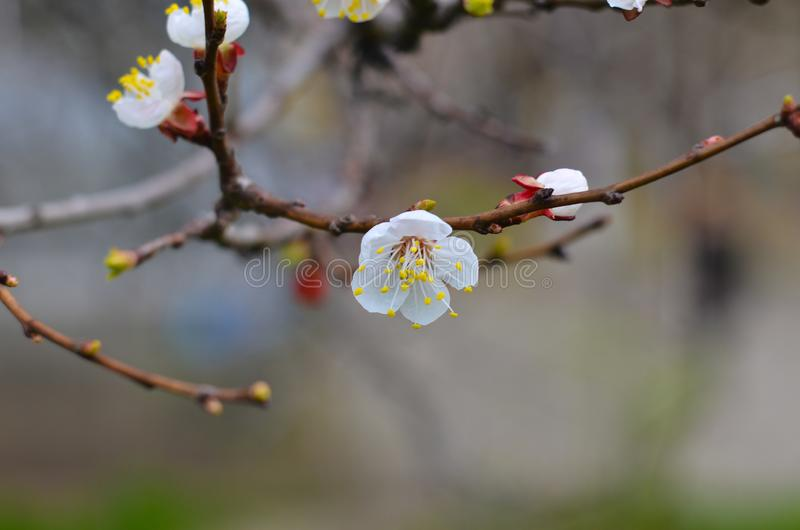 Cherry twigs with white flowering blossom close-up, spring time. stock photo
