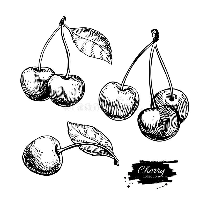 Cherry vector drawing set. Isolated hand drawn berry on white background. Summer fruit. Engraved style illustration. Detailed vegetarian food. Great for label royalty free illustration
