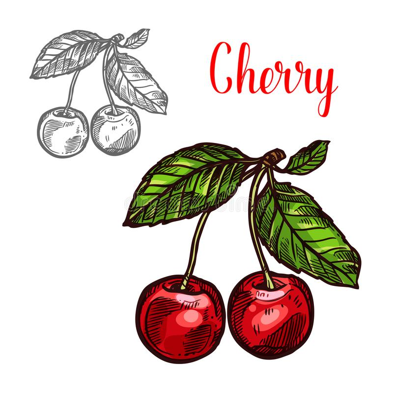 Cherry vector sketch fruit berry icon royalty free illustration
