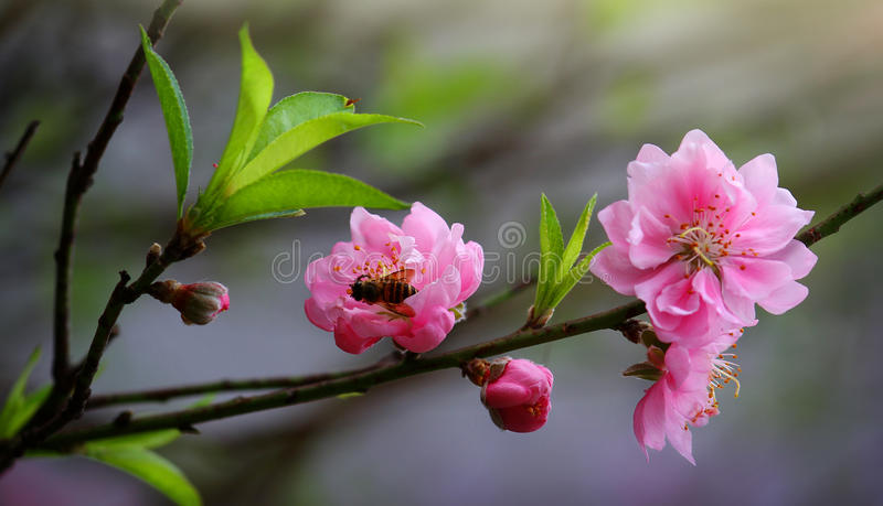 Download Cherry Vietnam stock image. Image of 913006660, hung - 39509205