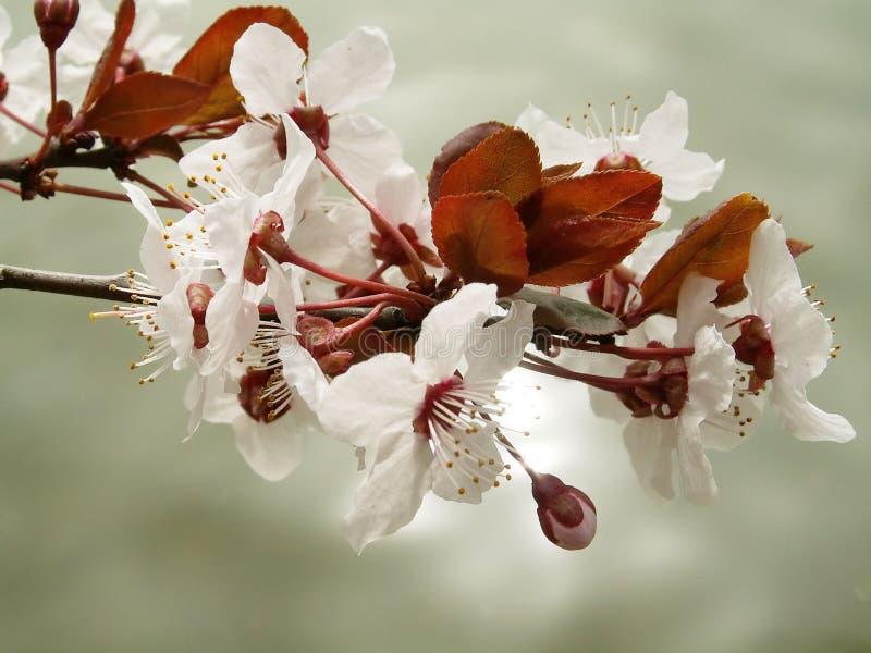 Cherryblommor royaltyfria bilder
