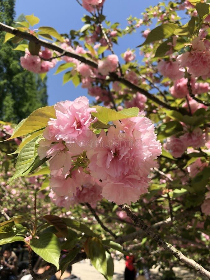 Cherryblossom zdjęcie stock