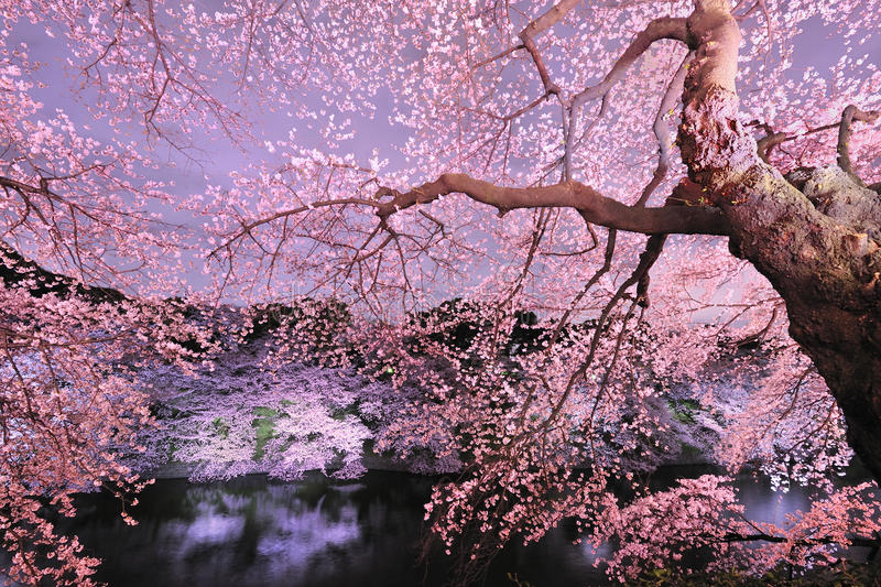Download Cherryblossom light up stock photo. Image of flower, night - 17671686