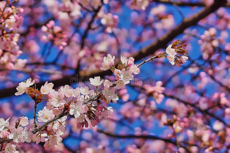 Cherryblossoms in bloom in munich royalty free stock image