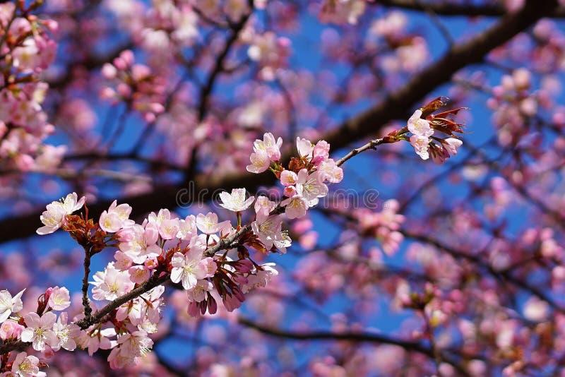 Cherryblossoms in der Blüte lizenzfreie stockfotografie