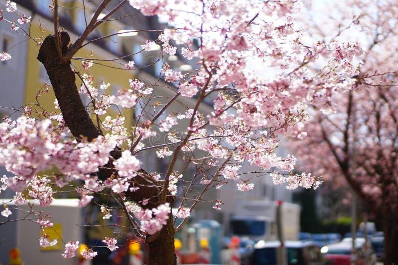 Cherryblossoms in der Blüte lizenzfreies stockfoto