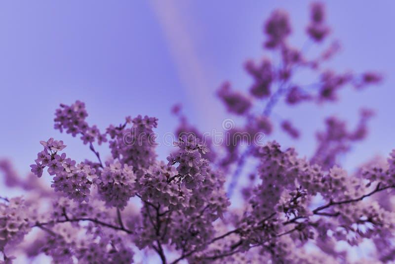 Cherryblossoms in der Blüte im englischen Garten in München lizenzfreies stockbild