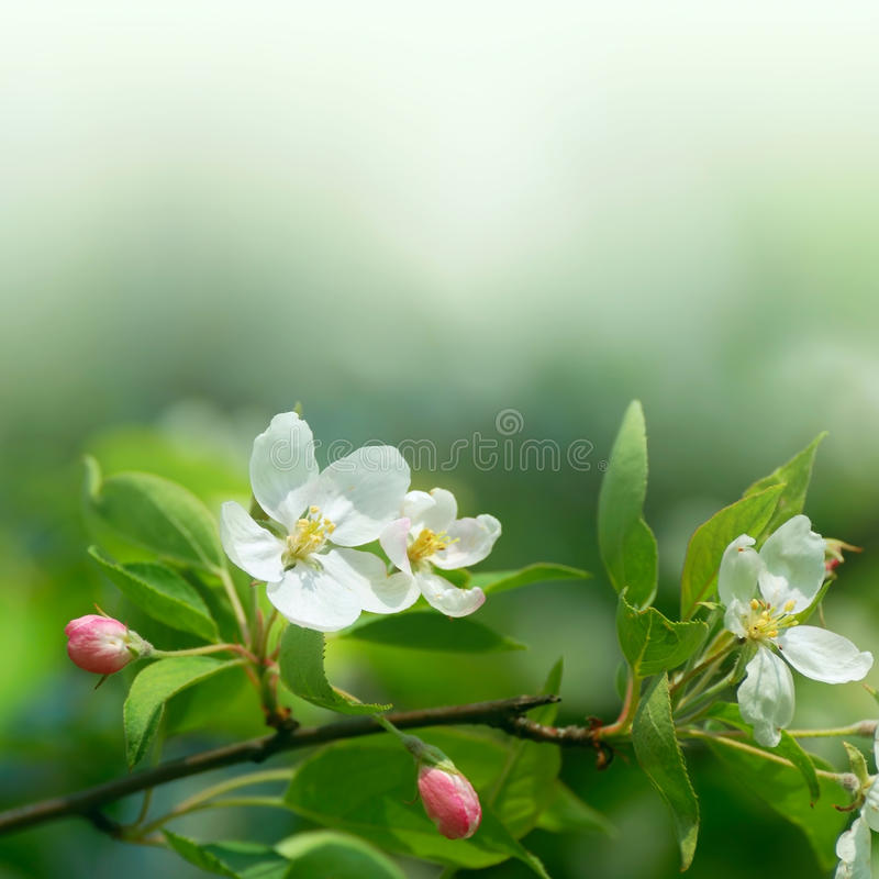 Cherryet blommar den slappa fokusen royaltyfria foton