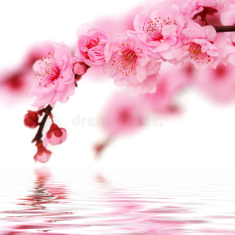 Cherryet blommar fjädern royaltyfria bilder
