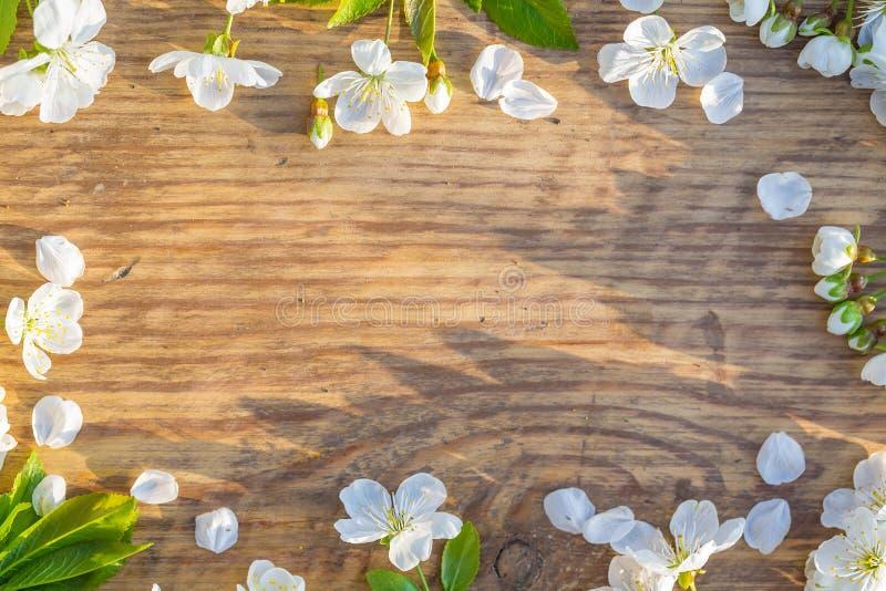 Cherryet blommar ramfjädern royaltyfria bilder