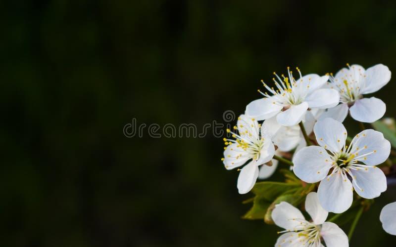 Cherryet blommar white fotografering för bildbyråer