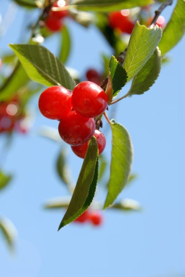 Download Cherrytree fotografering för bildbyråer. Bild av runt, leaves - 980071