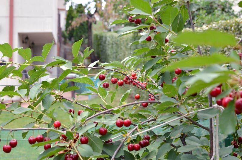Cherrytree i fjäder arkivfoto