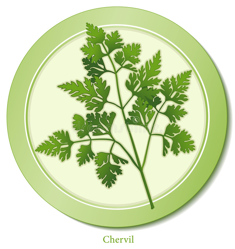 Download Chervil Herb stock vector. Illustration of food, chervil - 8582993