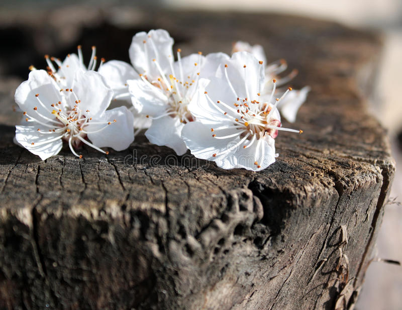 Chery flowers royalty free stock image