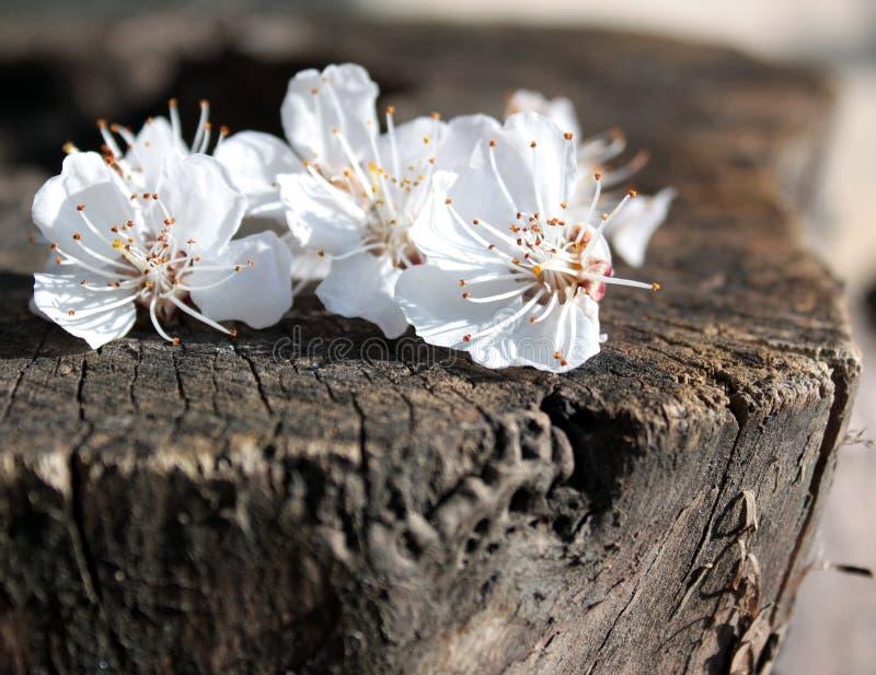 chery kwiaty obraz royalty free